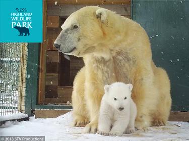 Highland Wildlife Park Baby Polar Bear's First Steps
