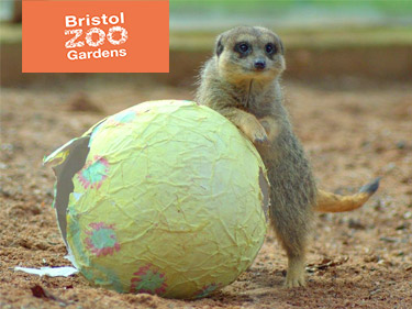 Bristol Zoo Meerkat guarding Easter Egg