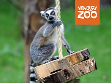 Lemur Hanging out at Newquay Zoo
