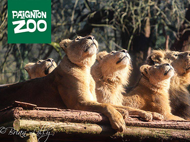 Pride of lions looking up at a passing plane at Paignton Zoo