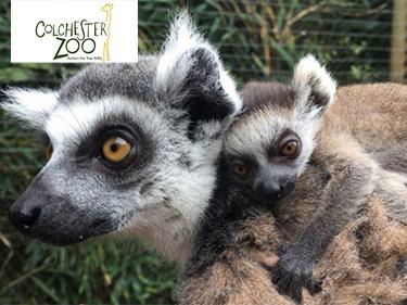 Colchester Zoo Baby Lemur Arrival
