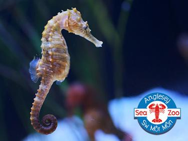 Seahorse at Anglesey Sea Zoo