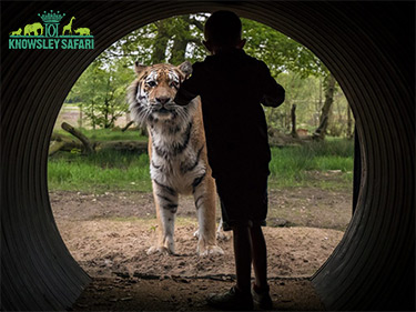 NEW Amur Tigers at Knowsley Safari Park Day Out