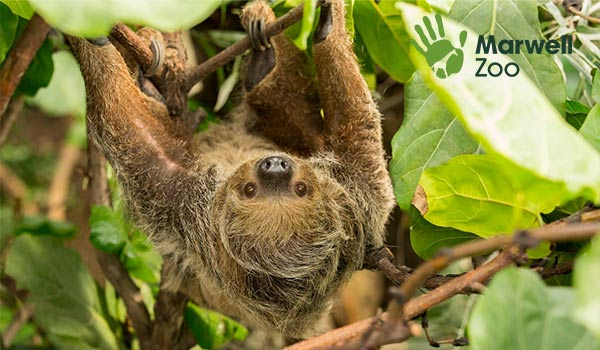 Rica the Sloth at Marwell Zoo