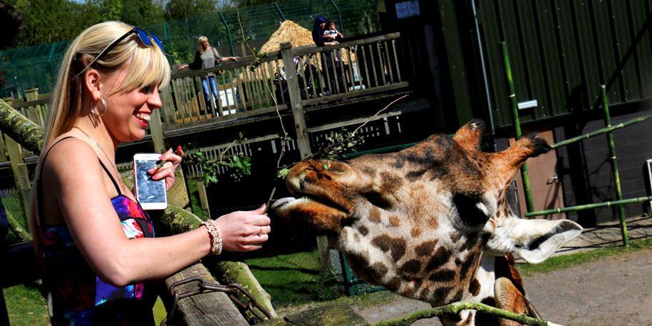 woman feeding giraffe at blackpool zoo