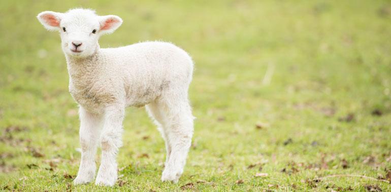 Spring Lamb at Thrift Farm